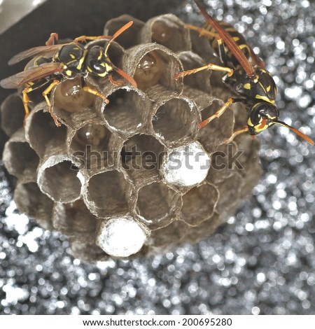 Wasps laying eggs - stock photo