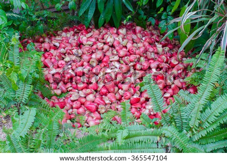 Waste fruit, rose apple are favorite of Asain. causes environmental pollution for world - stock photo