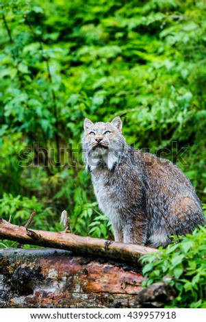Watchful Canadian lynx on forest log pile looking up