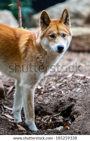 Watchful Dingo - stock photo