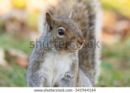 Watchful gray squirrel with an autumn background. - stock photo