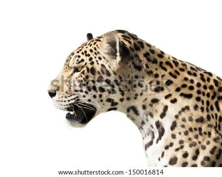 Watchful jaguar waiting for his prey - stock photo