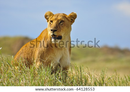 Watchful Lioness. Serengeti National Park, Tanzania - stock photo
