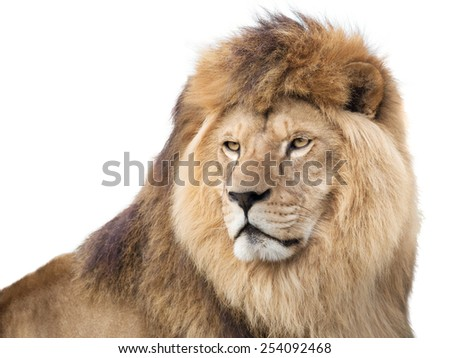 Watchful mighty lion - stock photo
