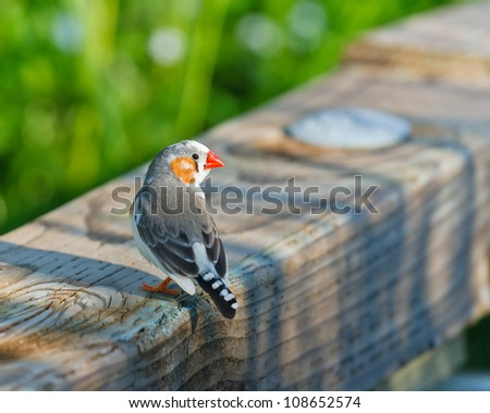 Watchful zebra finch resting on a board with the shadows of the evening sun while looking backwards