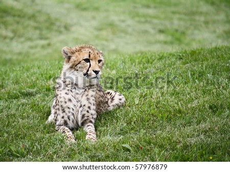 Watchfull Cheetah looking at prey