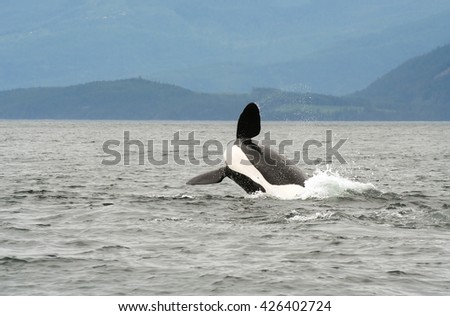 watching a killer whale (orca) breaching during whale watching tour near campbell river in Vancouver Island British Columbia, Canada. - stock photo
