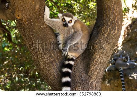 Watching from the tree lemur, Ring-tailed Lemur (Lemur catta) - stock photo