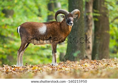 Watching mouflon standing in the forest, blurred background - stock photo