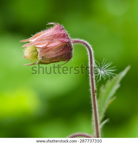 Water avens, geum rivale flower with small fuzz macro on a blurred background, selective focus, shallow DOF - stock photo