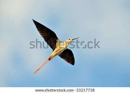 water bird - black winged stilt (himantopus himantopus) flying - stock photo