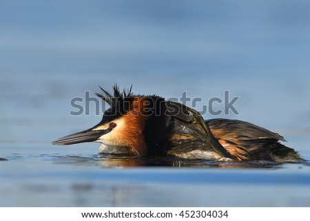 water bird on the lake in spring (podiceps cristatus) - stock photo