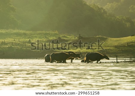 water buffalo a dip in the lake - stock photo