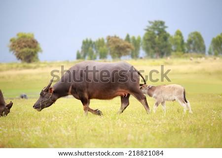 Water buffalo and baby. - stock photo