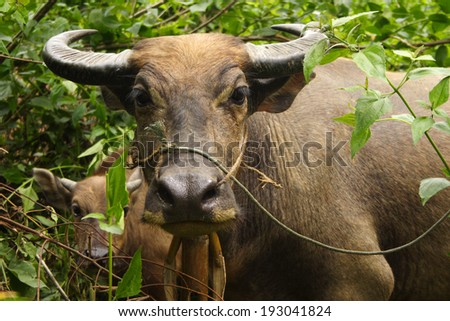 Water buffalo and calf hiding in the undergrowth in the mountains above the Nam Ou river in Northern Laos in South East Asia - stock photo