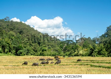 Water buffalo are eating dry rice trunk , husk in the rice after cultivation in the strong sunlight