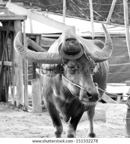 water buffalo (black and white tone) - stock photo