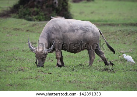 water buffalo eating grass in field.