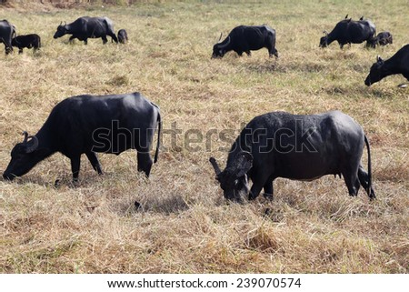 water buffalo eating grass in field