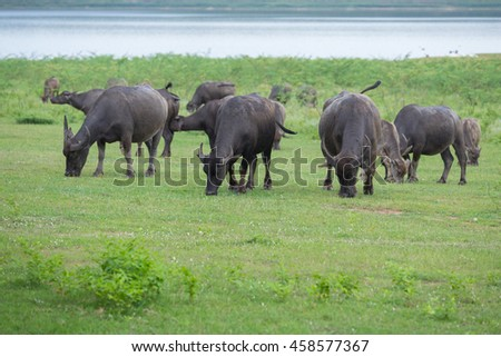 water buffalo eating grass on the field