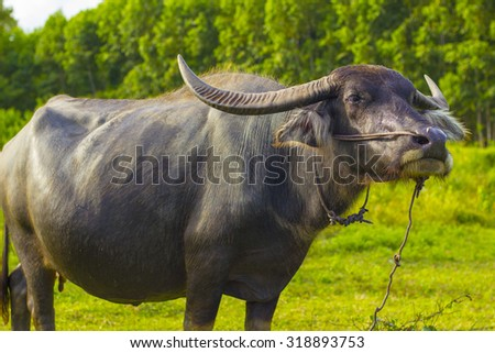 Water buffalo.Green.animal.buff.cattle.livestock.living creature