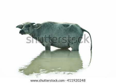 Water buffalo in pond of Thailand on white