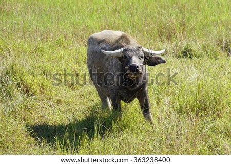 Water buffalo in the grass in the Cambodian countryside
