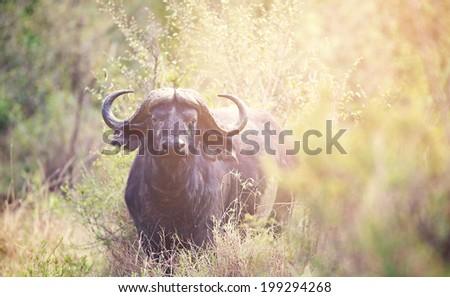 Water Buffalo in the hazey sunlight - stock photo