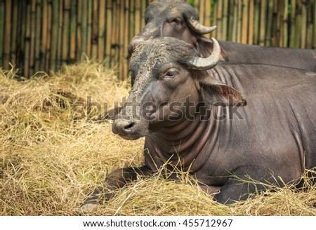 Water buffalo lying on dry grass