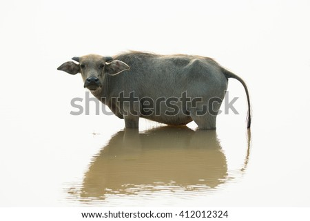 Water buffalo on white in the pool