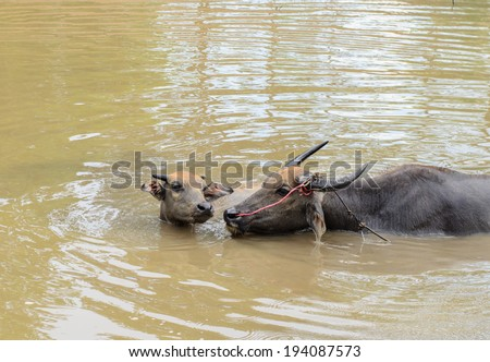 Water buffalo or domestic Asian water buffalo (Bubalus bubalis)