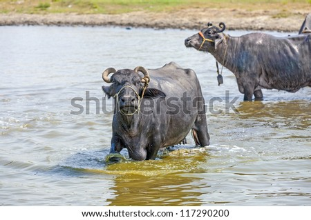 water buffalo relaxes in the lake - stock photo