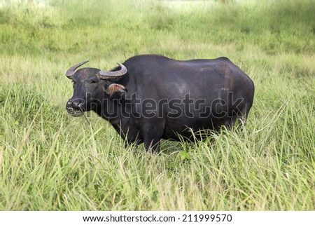 Water buffalo standing on green grass