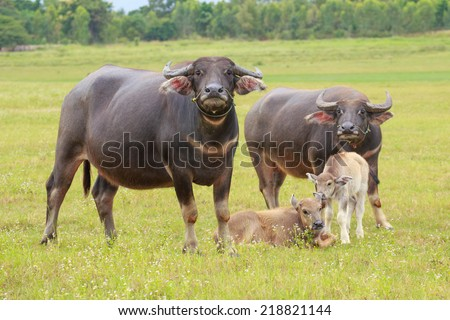 Water buffalo standing on green grass and looking to a camera. - stock photo