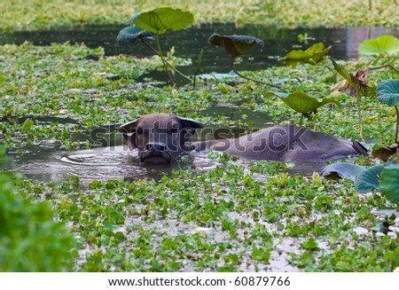 Water buffalo swimming in pond