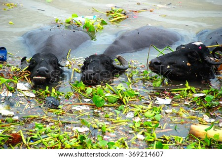Water buffaloes in the Ganges River near Varanasi India