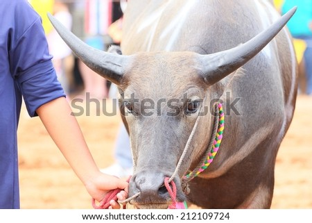 water buffulo in Thailand - stock photo