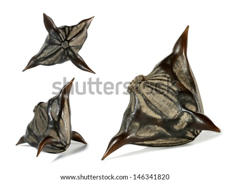 Water caltrop Trapa natans horny seed - stock photo