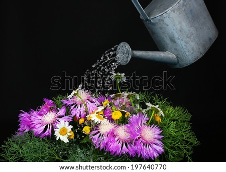 Water can watering flowers on black background - stock photo