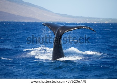 Water cascading off a humpback whale tail - stock photo