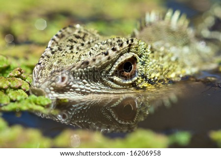 Water dragon hiding underwater using camouflage