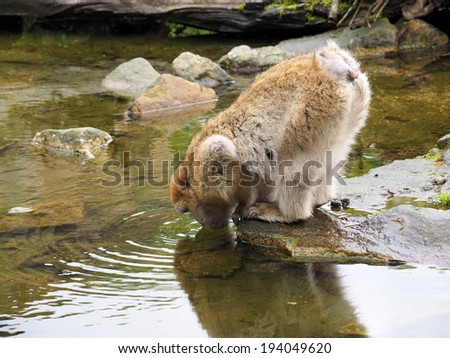 Water drinking Berber monkey