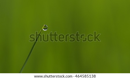 Water Drop in The End of Rice Leaf