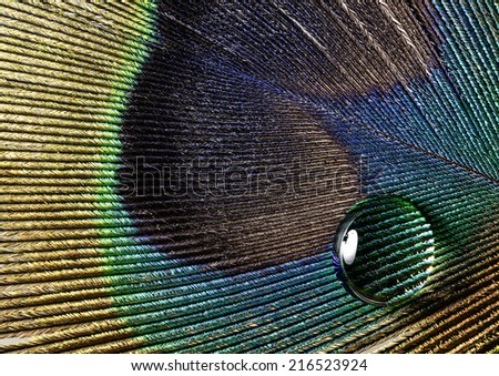 water drop on a peacock feather - stock photo