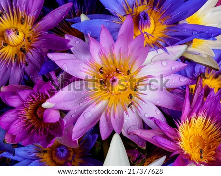 water drop on colorful water lily with bee ,lotus flower blooming - stock photo