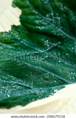 water drop on green caladium leaf - stock photo