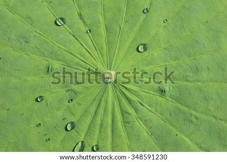 Water drop on lotus leaf - stock photo