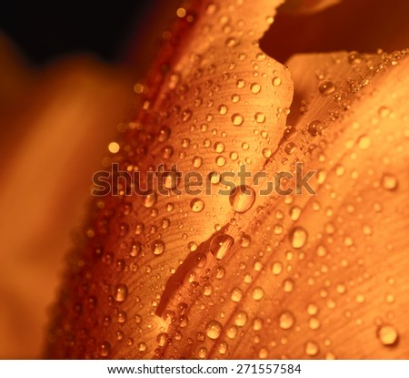 Water drop on orange petals, super macro shot with shallow depth of field. Selective focus. - stock photo