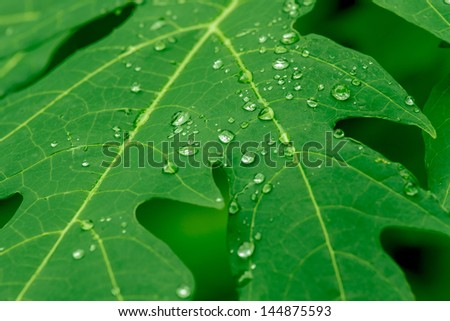water drop on Papaya leaf