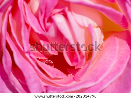 water drop over pink luxuriant rose - stock photo